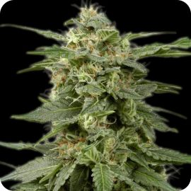White Widow fem. - strain - Bulldog Seeds | Cannapedia