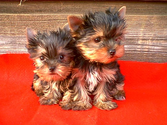 puppyFamilies Pets, Friends, Little Puppies, Small Dogs, Yorkie Puppies, Yorkshire Terriers, Pets Pets, Animal, Pets Furries