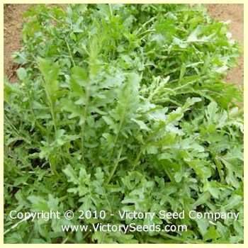 Arugula - Eruca sativa - Herb Seeds from Victory Seeds®