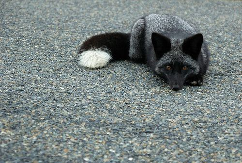 Silver domesticated fox. I read about the domesticated foxes in a National Geographic. Ever since that, I wanted one.