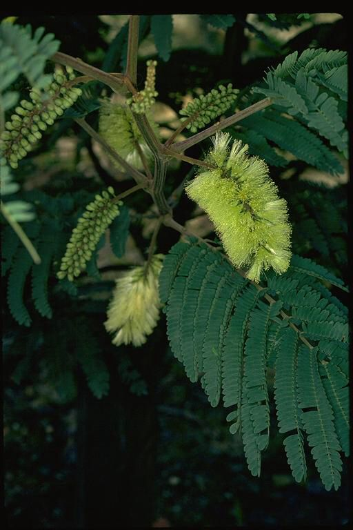 Paraserianthes is a genus of only 4 species (2 Aust). Paraserianthes lophantha), commonly known as Cape Leeuwin Wattle or Crested Wattle is the only species occurring in south-western Western Australia; the other is found in tropical Australia.