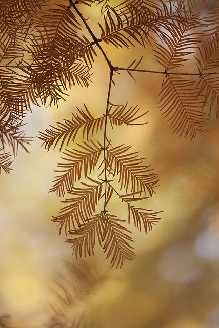 leaves of metasequoia 2   by * Yumi *