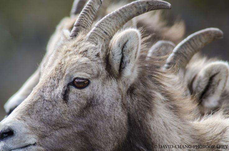 Young big horn sheep near Banff National Park