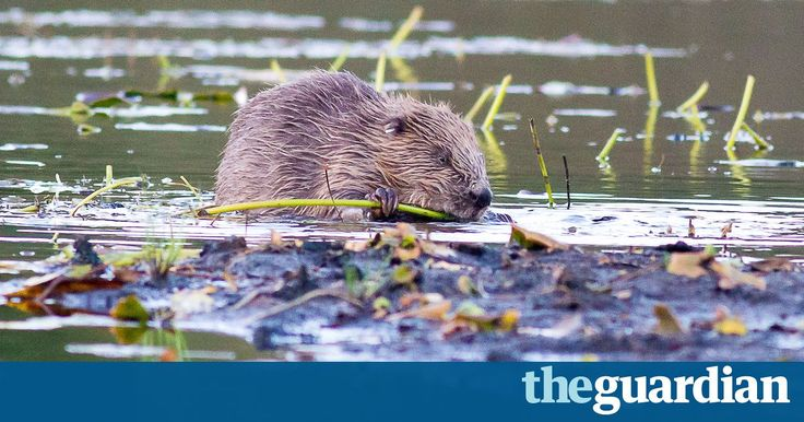 Move hailed as first formal reintroduction of a once native mammal in the UK