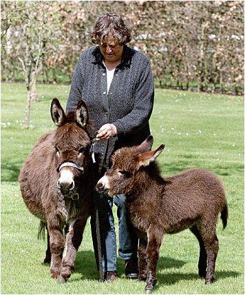 Mini-ezels zijn er in verschillende kleuren o.a. zwart, bruin, grijs, 'rood' en bont. De maximale schofthoogte is 91 cm (36 inch); gemiddeld zijn ze 85 cm. De merries mogen vanaf 3-jarige leeftijd gedekt worden en de gemiddelde draagtijd is 12 maanden. Courtesy: Piccolo Farm mini-ezels (Netherlands).