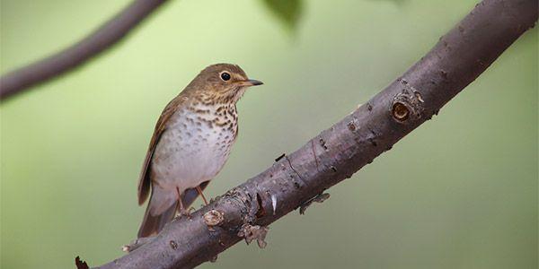 Pássaros monogâmicos e fiéis estão se separando por causa do desmatamento