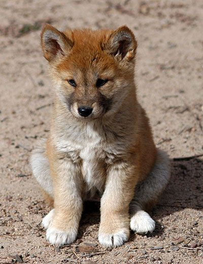 The cutest little dingo puppy that there ever was!