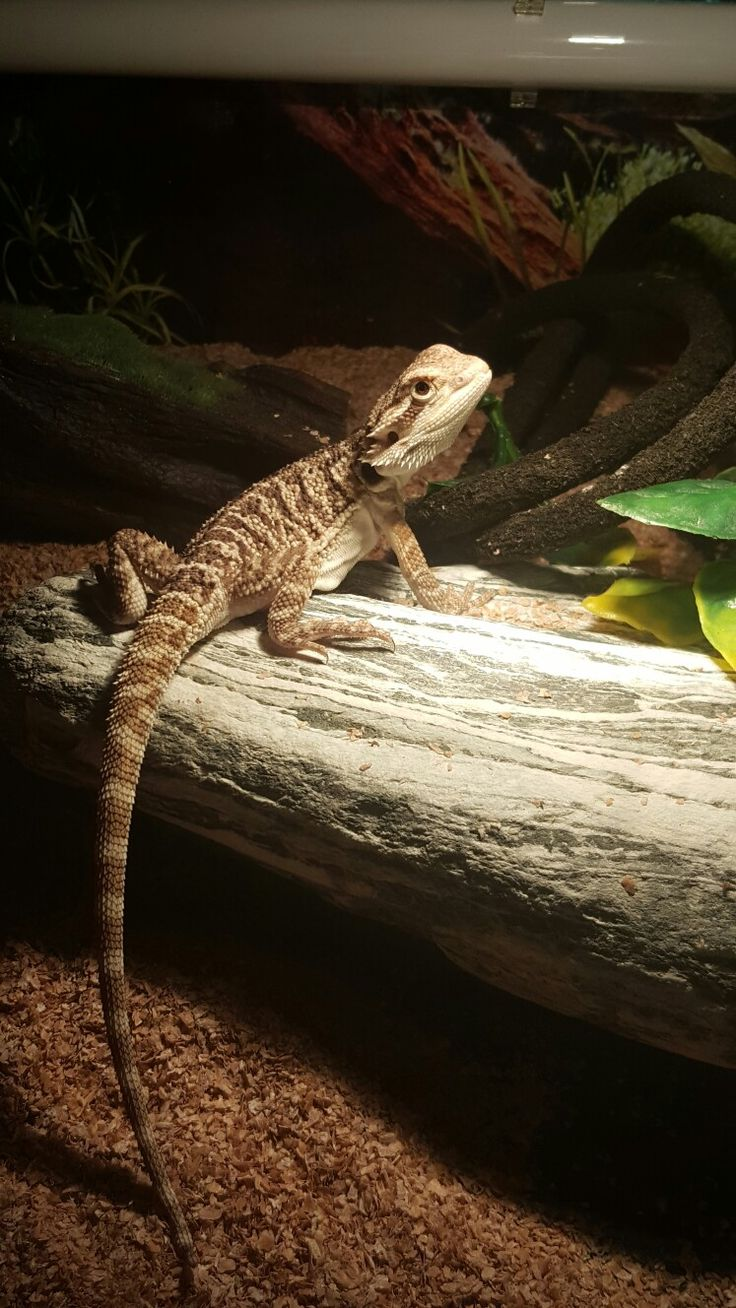 1968 best reptiles images on pinterest reptiles amphibians and