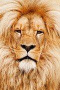 Afrikka, Afrikkalainen, Eläinten, Kissa
