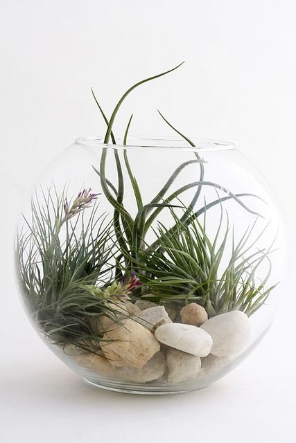 bocal air plant