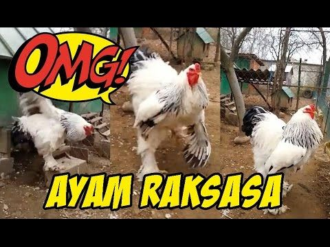OMG!!! Ayam Raksasa (Ayam Brahma)