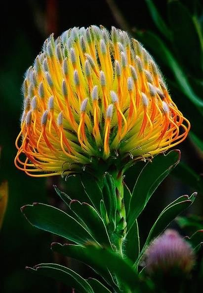 Posted on Facebook by How To Be, Book Author  (lovely protea!)