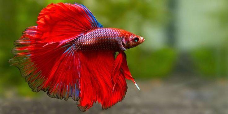 Pesci tropicali d'acquario- 5 esemplari bellissimi 1-800x400