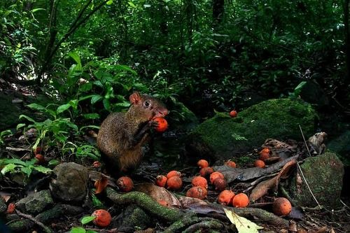 "Robbing Rodents Save Tropical Plant   by Krystnell A. Storr. ""Call it the Robin Hood of rodents. When the cat-sized agouti comes across seeds buried by its comrades, it digs them up and hides them in a new place. The robberies are selfish, to be sure, but a new study reveals that they may be saving a tropical tree from extinction."""