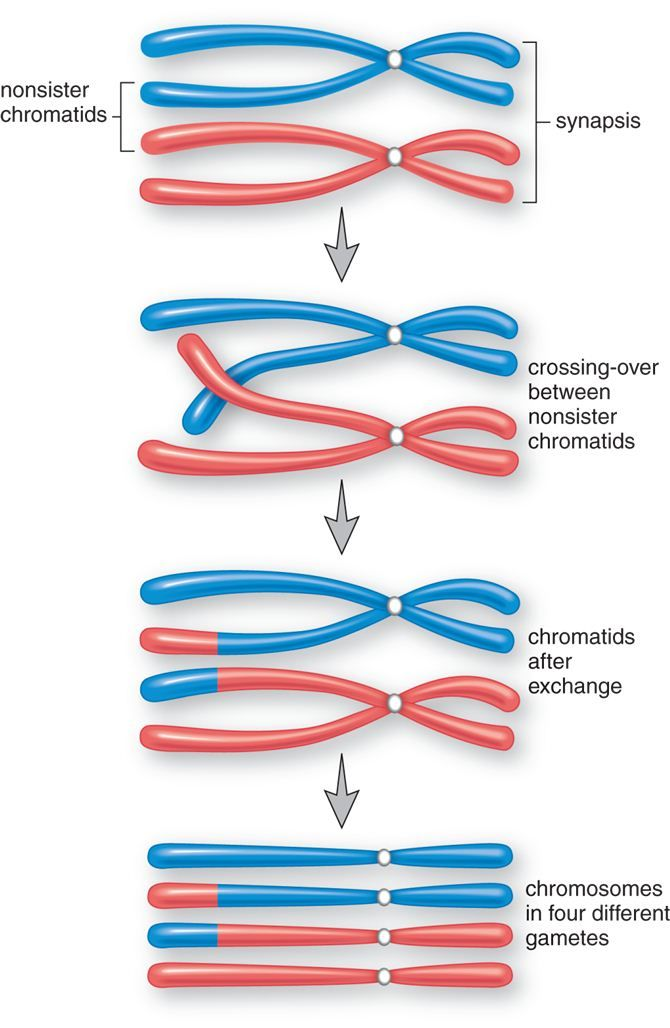 Variations in Meiosis: The Parthenogenetic Lizards - Ricochet Science