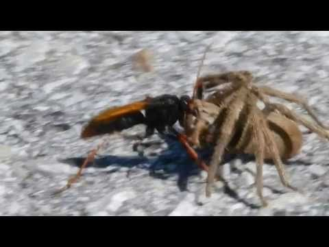 Spider Hunting Wasp with large Rain Spider - YouTube