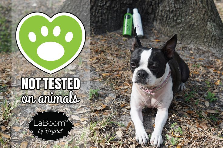 🐶All of LaBoom Products are Cruelty Free! 🐶 We do not believe that an animal should suffer in trying products that could harm & damage them, just so we can have a product that works well for us. That is why each one of our products are all natural and have taken serious time to develop & create.  #cruetlyfree #nevertestedonanimals #bostonterriers #doglover #dogs #puppy #bostonterrierlife #bostonterriersrule #bostonterrier #bostonterriercult #bostonterrierlove #bostonterrierpuppy…