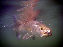 Saltwater Fishing: Speckled Trout Tactics