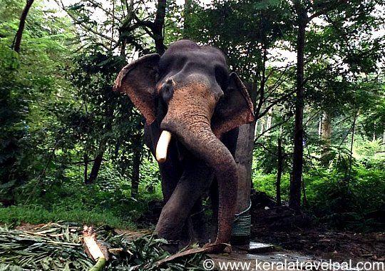Elephant at Guruvayoor Anakotta
