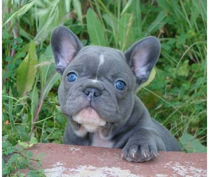 future best friend - blue french bulldog
