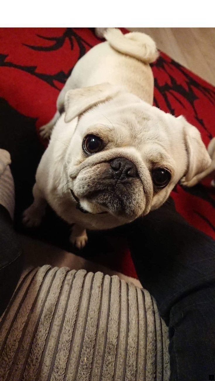 Read About Pug Breeders Please Click Here To Find Out More