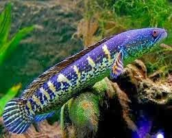 African Snakehead fish is beautiful