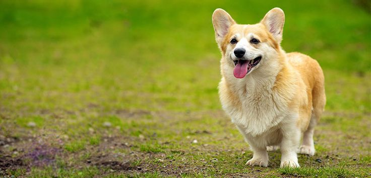 Here's how to find ticks in dogs and remove them safely:  http://ilovecorgidogs.com/all-about-ticks-in-dogs-dangers-removal-and-prevention/