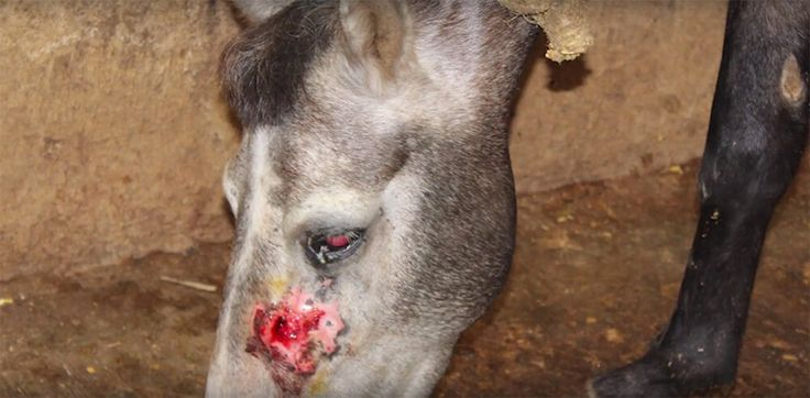 Urge the Indian government to shut down equine-serum facilities that abuse horses, donkeys, and mules.