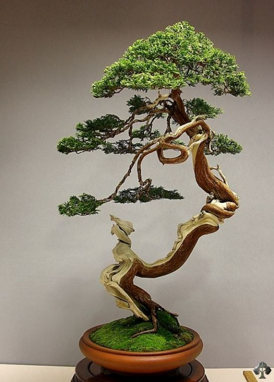 Bonsai de Junípero