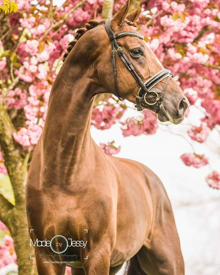 And 1 more from this incredebly beautifull young stallion������ #horsestagram #horses #horse #instahorse #dressagerider #dressage #dressuur #dressyr #dressur #stallion #kwpn #warmblood #hast #horsebackriding #horse #horses #horses_of_instagram #caballo #cavallos #madebyjessy #horsephotography #photography #paardenfotograaf #instapic #horsestagram http://tipsrazzi.com/ipost/1507095204669482449/?code=BTqRxqNBOXR