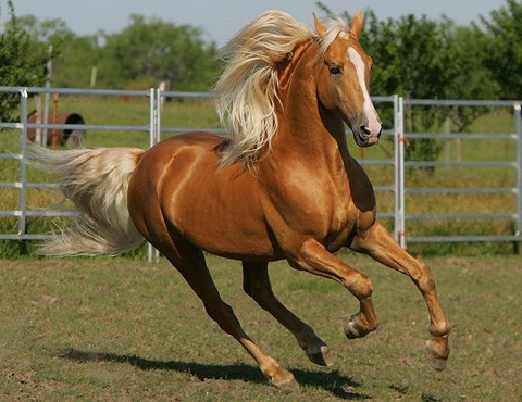 Tennessee Walking Horse Palomino, if I get a horse I want it to look like this