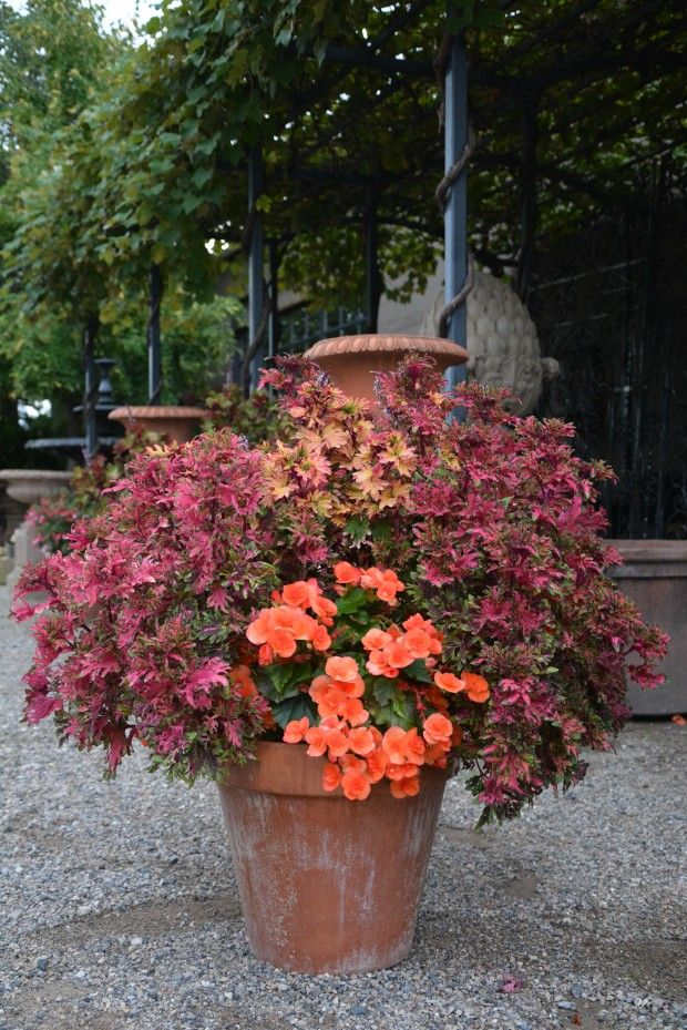 26 best great in the shade images on pinterest potted plants coleus and begonias by detroit garden works workwithnaturefo