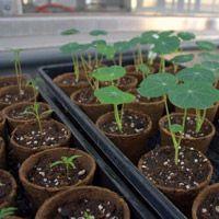 Nous sommes en mars! Vous voilà maintenant rendu à l'étape des semis intérieurs et éventuellement plus tard des semis directs au jardin. Généralement, les semis intérieurs à Montréal se font entre le début de mars et la fin avril (1). Les semis intérieurs sont essentiels, notre climat nordique nous empêchant de cultiver à longueur d'année à l'extérieur.