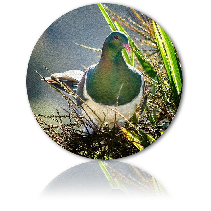 THE WOOD PIGEONS REST - Kererū says, relax before you stress - Ian Anderson Fine Art http://ianandersonfineart.com/