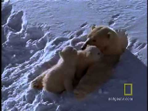 When they're not playing, polar bear cubs learn under the watchful eye of their mother.    See All National Geographic Videos http://video.nationalgeographic.com/video/?source=4001