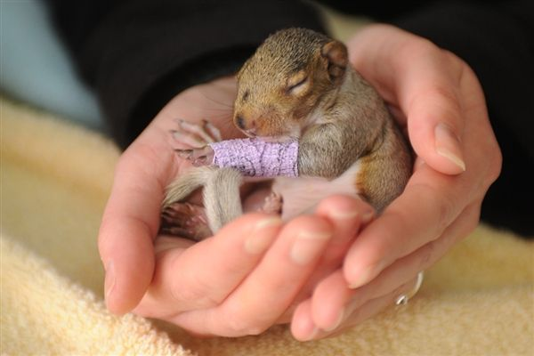 A tiny baby squirrel with a tiny purple cast. Recovering from a