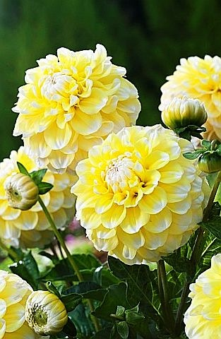 "^""Lemon Pie"" Dahlias"