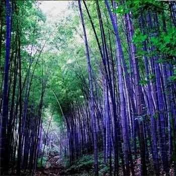 100 sementes bambu gigante phyllostachys,nigra pesca, gramas
