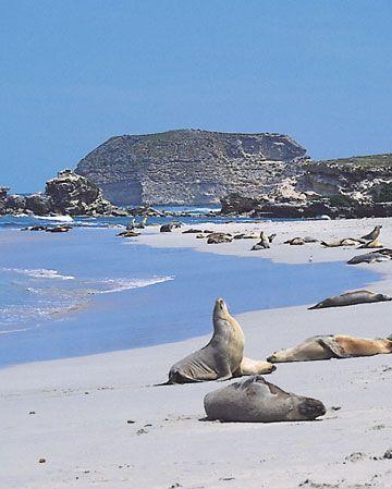 Catch seals sun bathing under the sun at the Seal Bay in Kangaroo Island, South Australia.