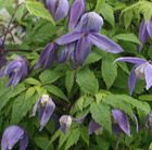 C4 Clematis 'Frankie' alpine clematis (Group 1) Position: full sun or partial shade Soil: fertile, well-drained soil, neutral soil Rate of growth: average to fast Flowering period: April to May Flower colour: blue Other features: fluffy seed-heads Hardiness: fully hardy H: 2m S: 1.5m Broad, bell-shaped, light to mid-blue spring flowers and mid-green leaves. This early spring flowering clematis is perfect for covering a north- or east-facing wall.