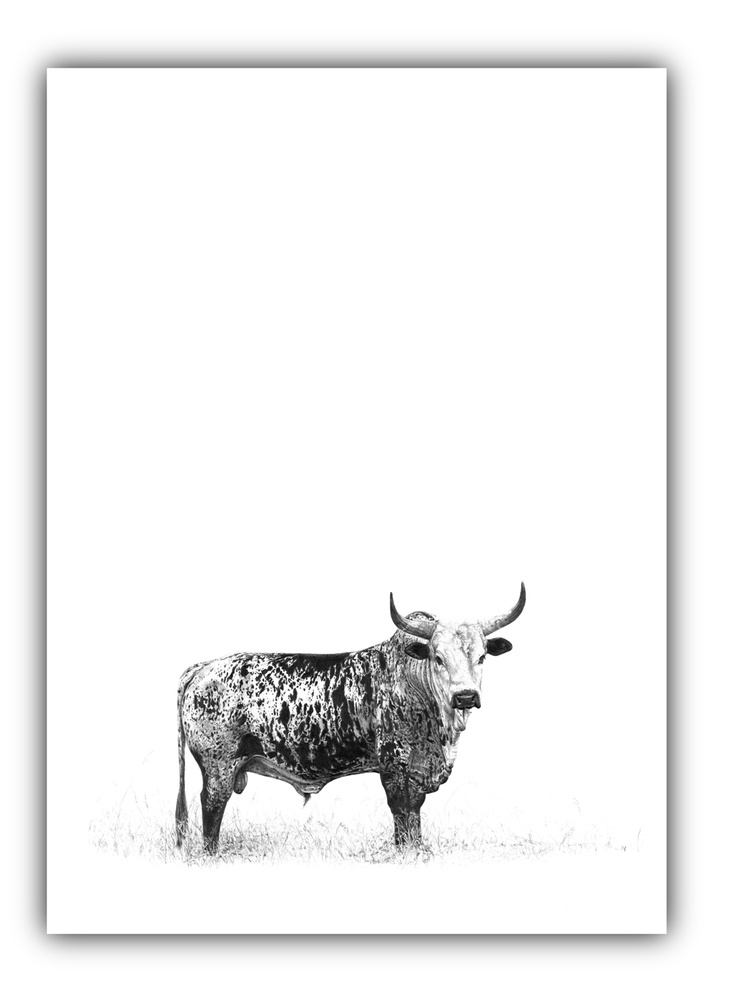 Incredible pencil sketch of an Nguni Bull by amazing South African artist Malcolm Bowling