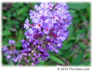 Butterfly Bush - Buddleja davidii    Deciduous shrub with large flower clusters  Perfect Butterfly Garden Centerpiece  Full Sun - Part Shade