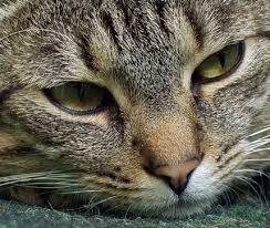 gatos atigrados grises - Buscar con Google