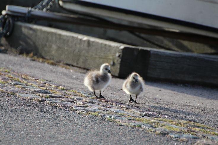 Siblings on a journey. Barnacle geese. Helsinki, Finland. #virpikivinen #barnaclegoose #babies #helsinki #finland #siblings