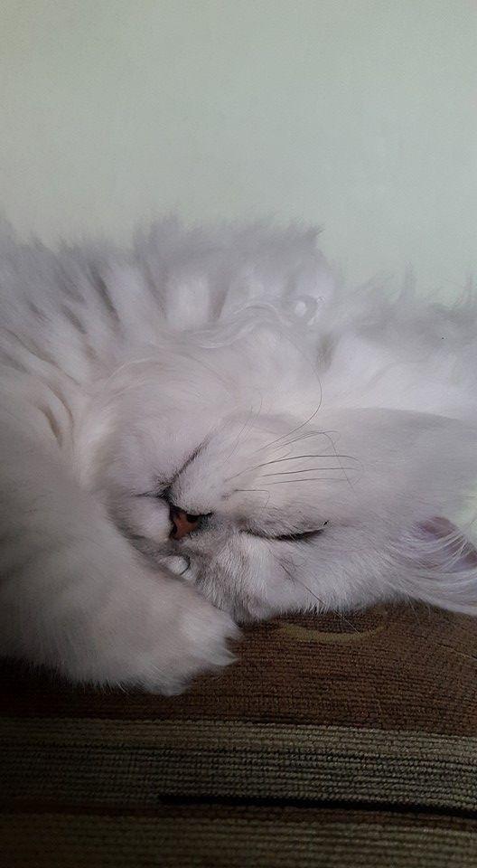 Od nadmiaru szczęścia może się przewrócić w głowie. Mój kot jest zdrowy dzięki Purinie One #PurinaOne #purinaOneadult #wyzwaniePurinaOne https://www.facebook.com/photo.php?fbid=1608829666104594&set=o.145945315936&type=3&theater