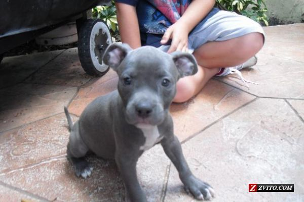 Free Blue Pitbull Puppies | WEEK OLD BLUE NOSE PITBULL PUPPIES CHAMPION BLOODLINES - Fort ... #pitbull #bully #americanbully #terrier #dogs #puppies #cute #cutebullies