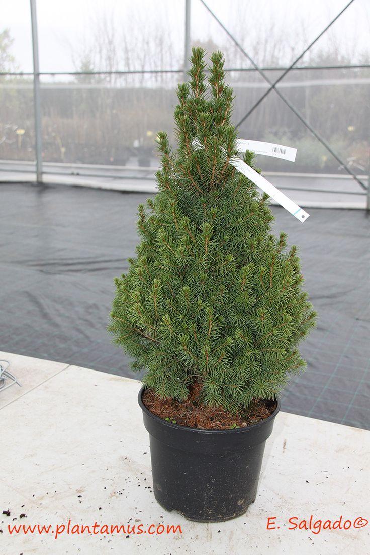 Picea glauca conica en Plantamus