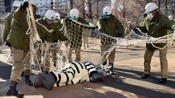 Los cuidadores del zoológico capturan a un empleado del zoológico vestido de cebra durante un simulacro para practicar lo que se debe hacer en caso de un escape de animales en el zoológico de Ueno en Tokio el 2 de febrero de 2014. Cerca de 150 cuidadores del zoológico participaron en el simulacro anual. AFP