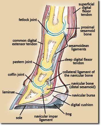 equine limb anatomy | Horse Leg Anatomy Diagram