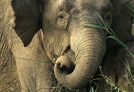 *highly endangered Asian elephant....only found on Borneo